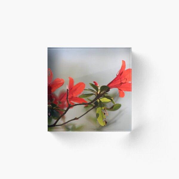 Fiery Bright Red Azalea Flower Blossom Acrylic Block
