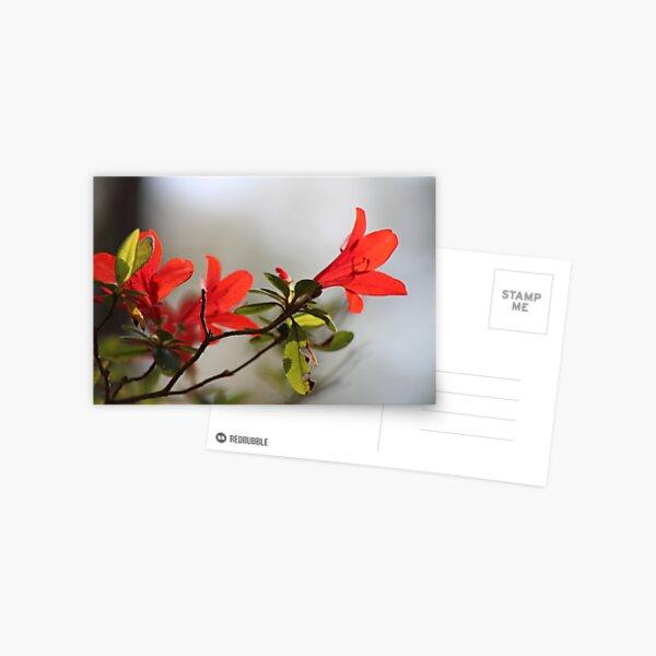 Fiery Bright Red Azalea Flower Blossom Postcard