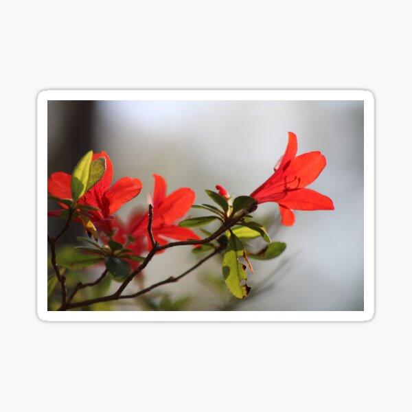 Fiery Bright Red Azalea Flower Blossom Sticker