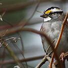 Can You See Me? - White-throated Sparrow by Janice Carter