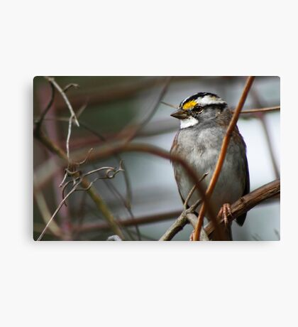 Can You See Me? - White-throated Sparrow Canvas Print
