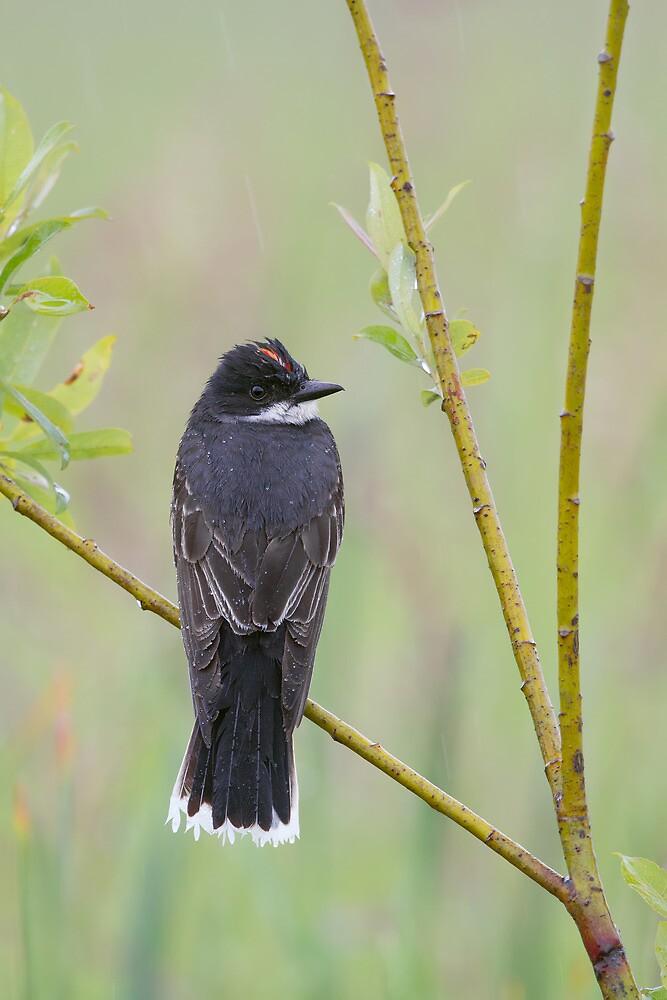Eastern Kingbird Enjoying the Rain. by Daniel Cadieux