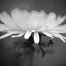 Dandelion Spider by Martin Griffett