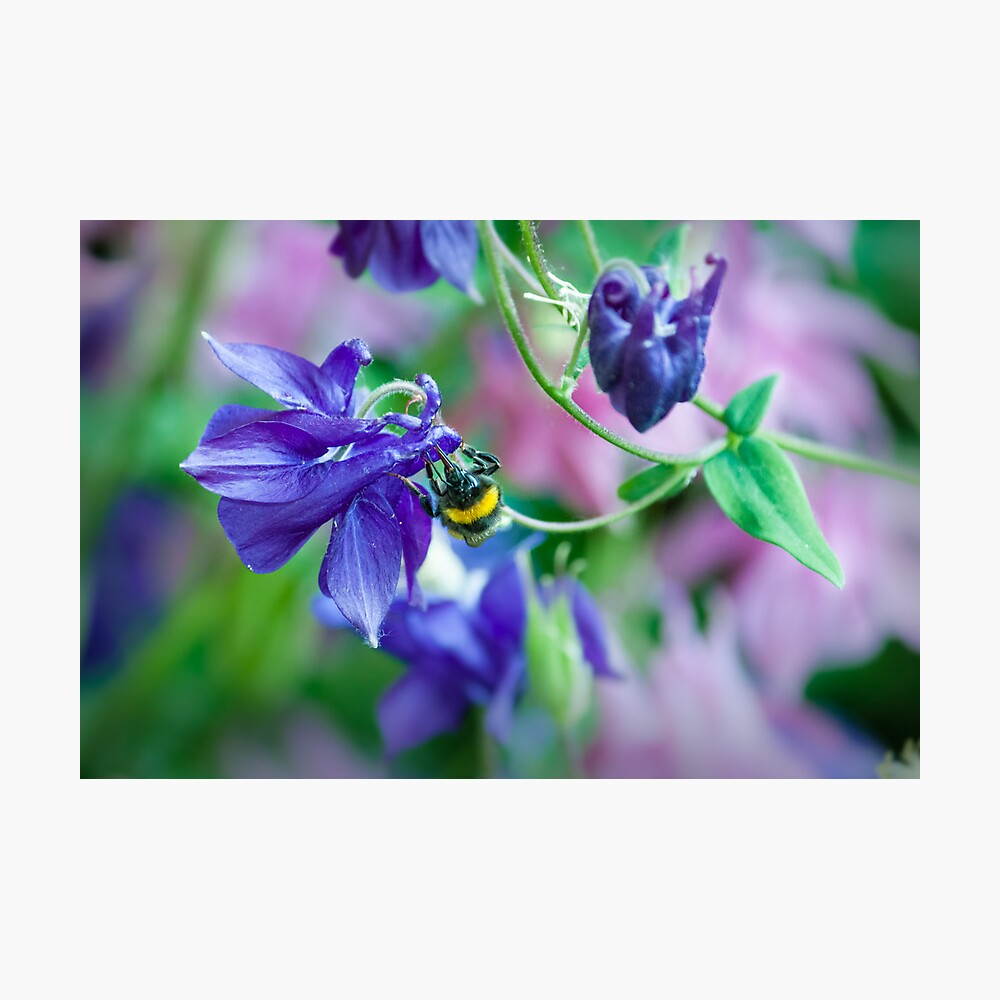 headfirst bumblebee Photographic Print