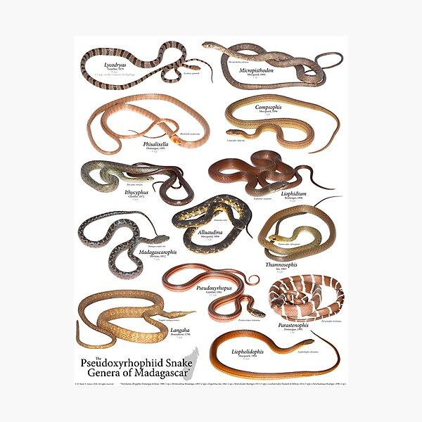 The Pseudoxyrhophiid Snake Genera of Madagascar, v. 1.0 Photographic Print