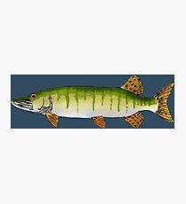 Muskellunge (Muskie) Photographic Print