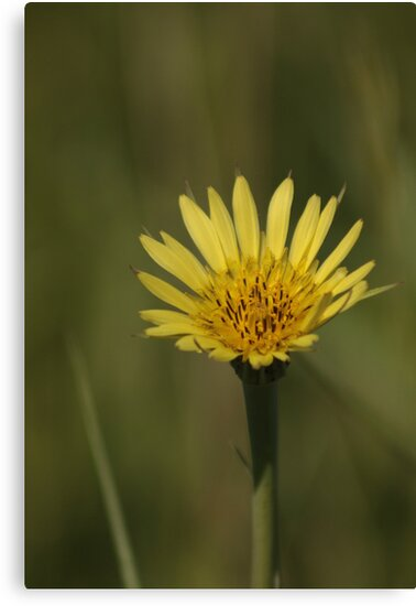 Yellow Wild Flower Which I Dont Know The Name Of Canvas Prints By