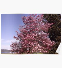 Pink Petals Along Puget Sound - Commencement Bay Poster
