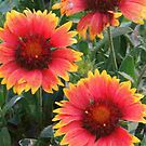Blanket Flowers by Betty  Town Duncan