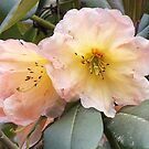 Rhododendron by beracox