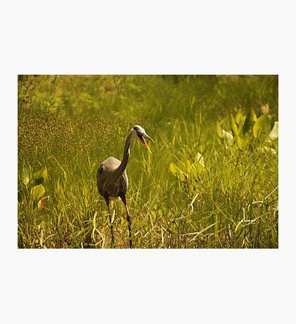 Urban 'Great Blue Heron' say's Hello! Photographic Print