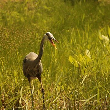 Urban 'Great Blue Heron' say's Hello! by ThomasMurphy