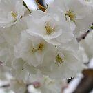 Beautiful Blossoms by NinaJoan