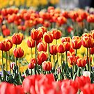 Tall Tulips by NinaJoan