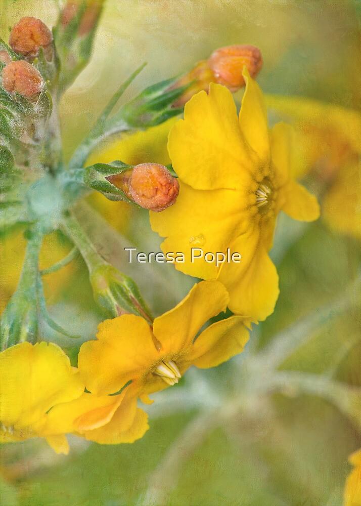 precious primrose by Teresa Pople