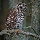 Florida Barred Owl In Spanish Moss by Joe Jennelle