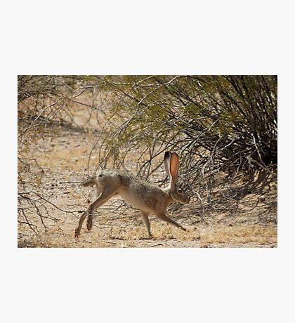 Black-tailed Jackrabbit Photographic Print