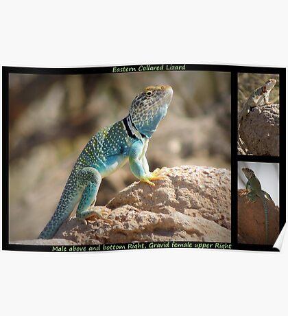 Eastern Collard Lizard ~ Collage Poster