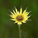 Yellow Salsify III by Ashlee White