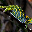 Furcifer minor -  Chameleon - Vinary - Madagascar by john  Lenagan