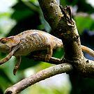 Furcifer pardalis - Female Panther Chameleon - Andasibe - Madagascar by john  Lenagan