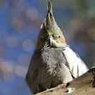 Cockatiel - Australian Parrot by Jacqueline  Murphy