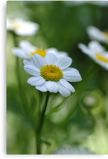 Feverfew by marens