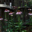 Cone flower garden by DHParsons