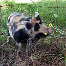 Calico Pig by SKNickel