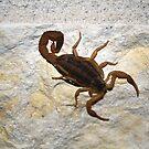 Striped Bark Scorpion by Kate Farkas