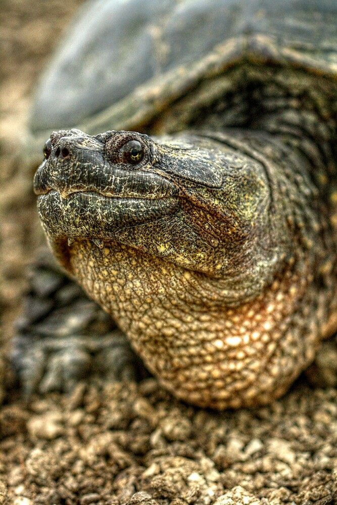 Snapping Turtle XI by Ashlee White