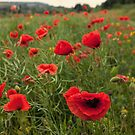 Poppy Field by Stuart  Gennery