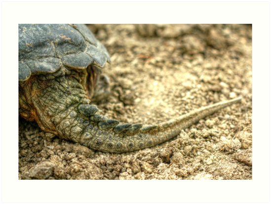 Snapping Turtle XII by Ashlee White
