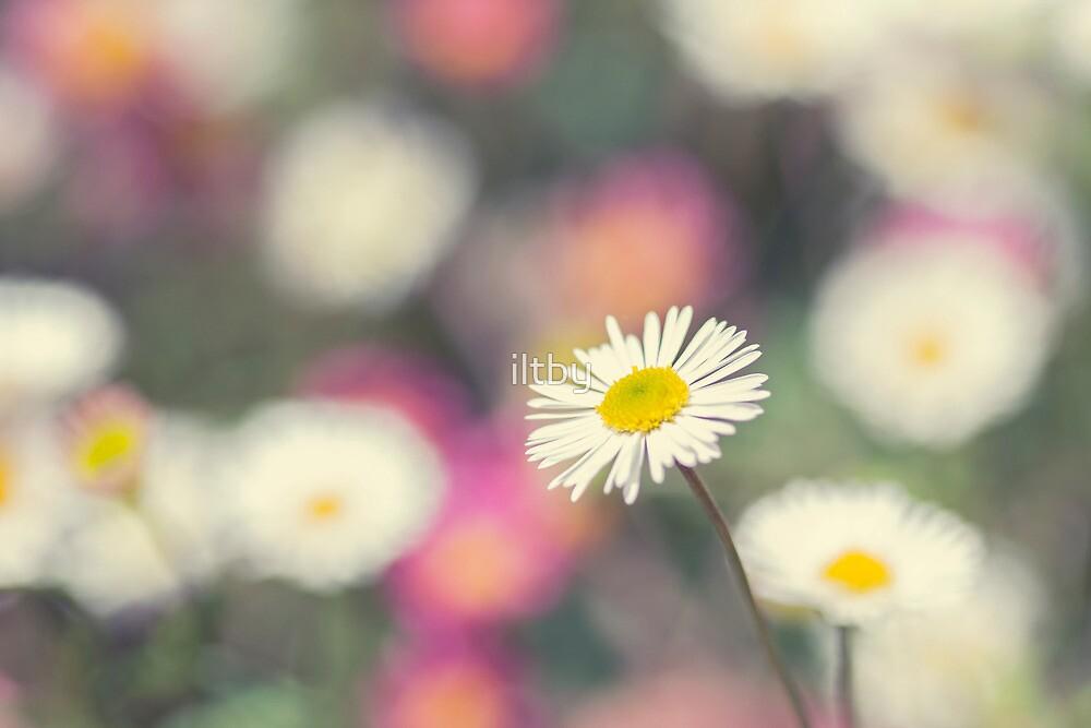 Daisy Bokeh by Josie Eldred
