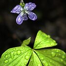 Wild Violet III by Ashlee White