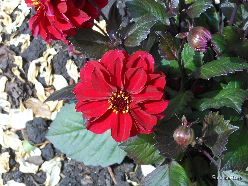 Lady in Red - Stunning Scarlet Dahlia by SunriseRose