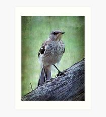 Texas State Bird~Mockingbird Art Print