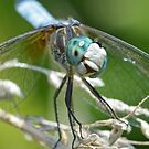 Male Blue Dasher Smiling by William Brennan