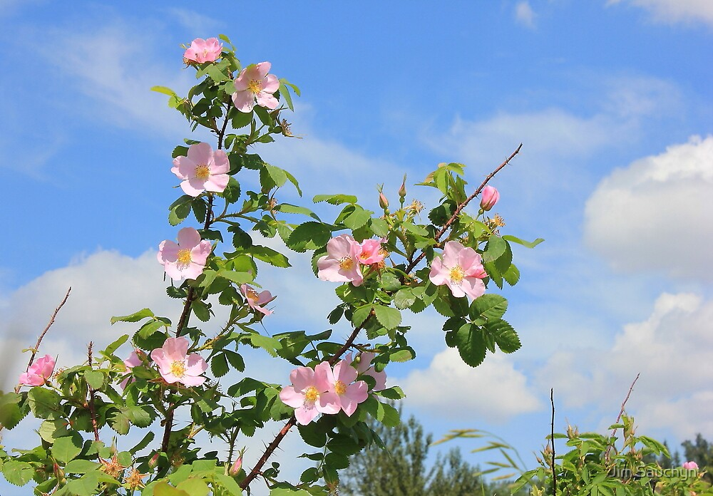 Wild Roses in June by Jim Sauchyn