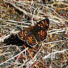 Butterfly 2 by Jess Meacham