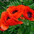 Red Poppies by Mike HobsoN