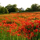 Poppy Haze by mikebov