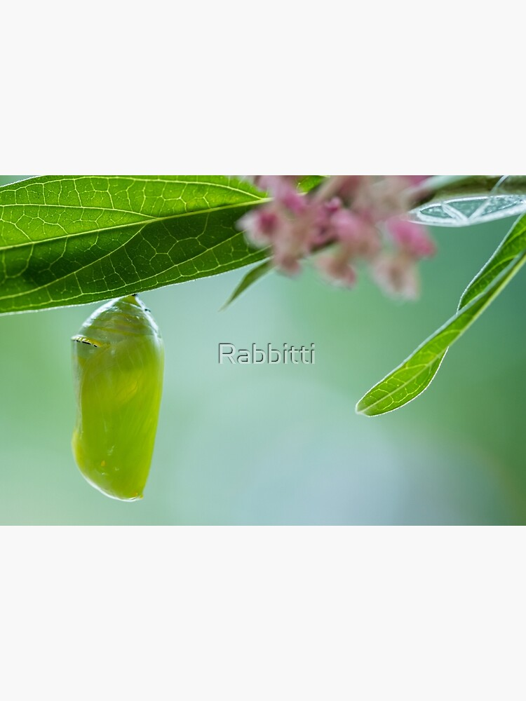 Monarch Butterfly Chrysalis macro newly formed on Swamp Milkweed by Rabbitti