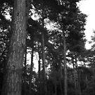 Tall Trees by Thomas Adams