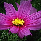 Pink Cosmos by shiraz