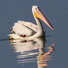 Reflections of a White Pelican in color by Anthony Goldman