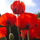 Red Poppies by Happy Endings..... Cards & Prints