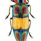Chrysochroa fulgens jewel beetle by Gabor Pozsgai