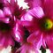 *Feature/Page -Chrysanthemums - Gorgeous Flower Cards Challenge