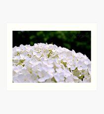 White Hydrangeas Art Print